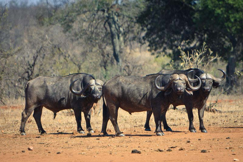 buffalo_letaba_ranch