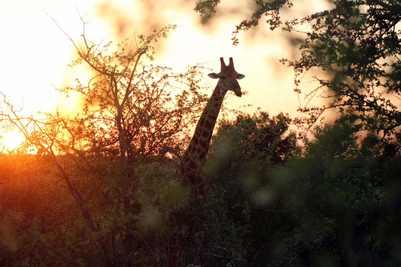 giraffe in letaba ranch