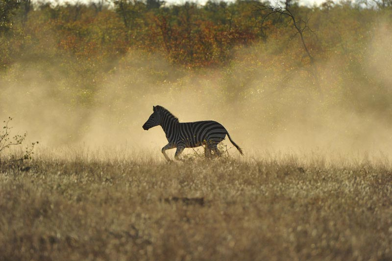 zebra in letaba ranch